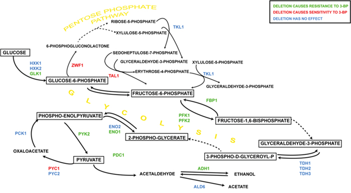The influence of 3-BP on single yeast mutants having deleted genes encoding glycolytic and pentose phosphate pathway enzymes.