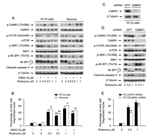 Pharmacological inhibition of CaMKII or downregulation of CaMKII partially prevents rotenone-induced inhibition of mTOR signaling and apoptosis in neuronal cells.