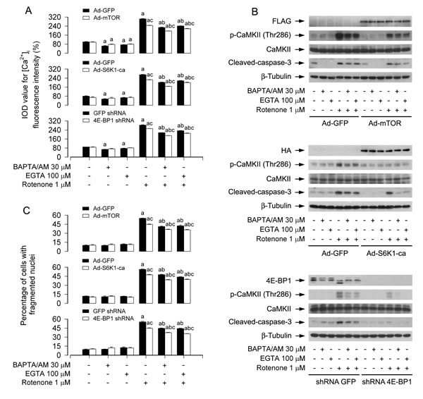 Ectopic expression of wild-type mTOR or constitutively active S6K1, or downregulation of 4E-BP1 reinforces BAPTA/AM's or EGTA's prevention of rotenone elevation of [Ca