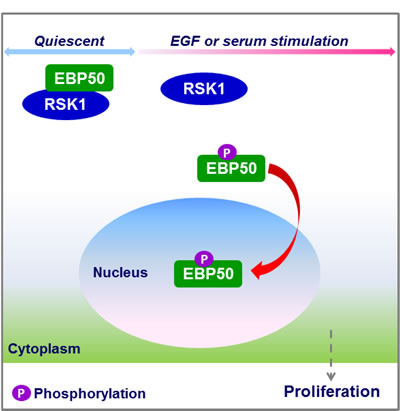 Schematic diagram showing the role of RSK1 in nuclear accumulation of EBP50.