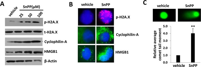 SnPP treatment causes DNA damage and necrosis for KSHV-infected endothelial cells.