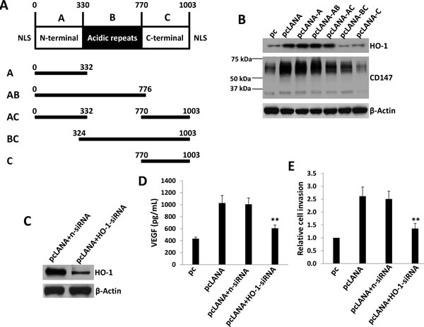 KSHV-encoded LANA protein is responsible for upregulation of HO-1 expression.