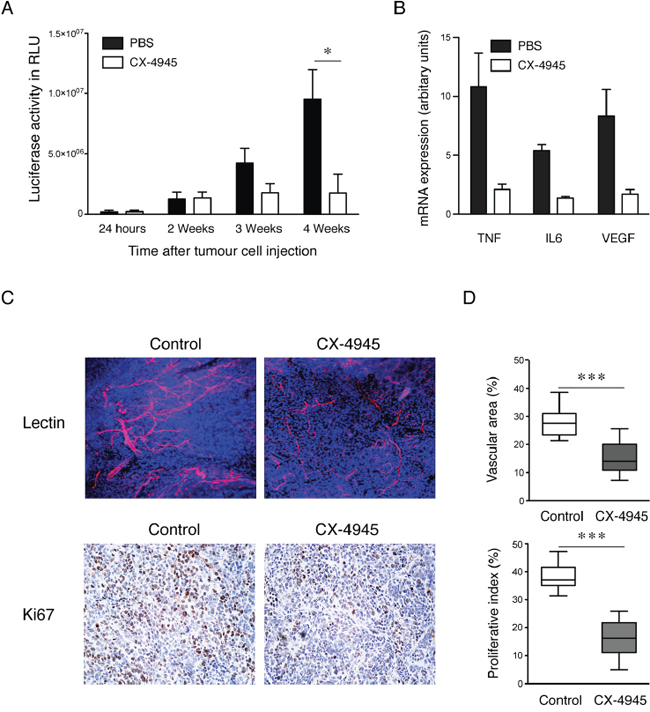 Effects of specific inhibition of CK2 on xenograft growth in vivo.