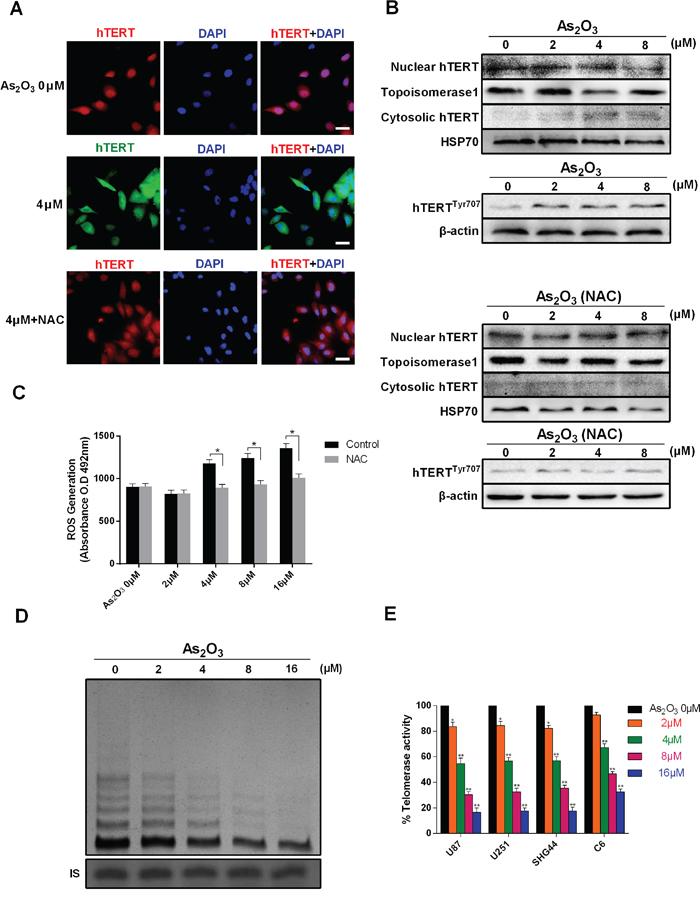 As2O3 inhibits telomerase translocation, phosphorylation and activity.