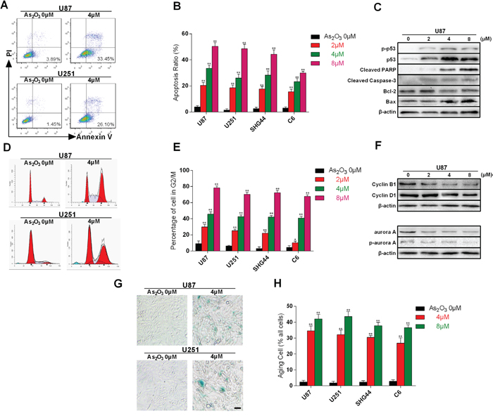 Cell apoptosis, cell cycle arrest and cellular senescence evoked by As2O3-induced telomere dysfunction.