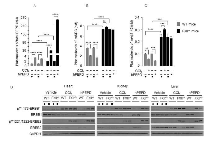 The FXII-FVII proteolysis pathway responds to tissue injury.