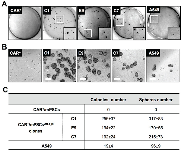 In vitro tumorigenic phenotype of CAR+/mPSCsOct-4_hi.