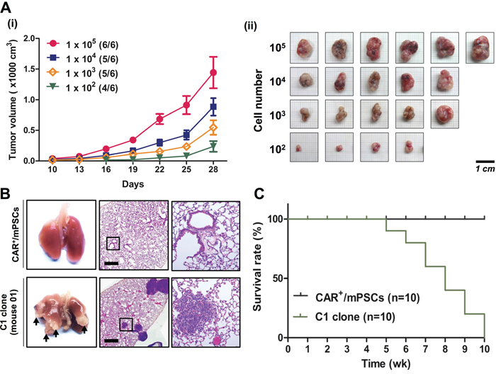 In vivo tumorigenic and metastatic capacities of CAR+/mPSCsOct-4_hi C1 clone.