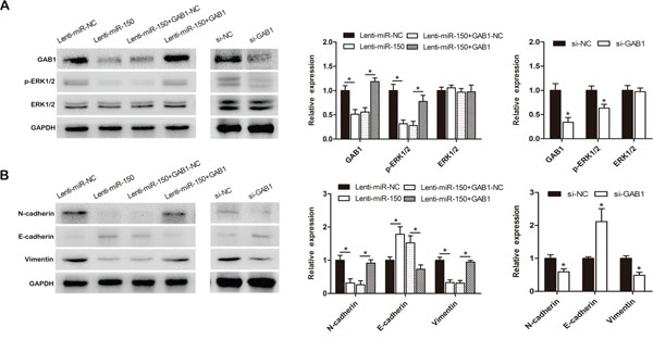 miR-150 exerts its functions by inhibiting the GAB1-ERK axis.