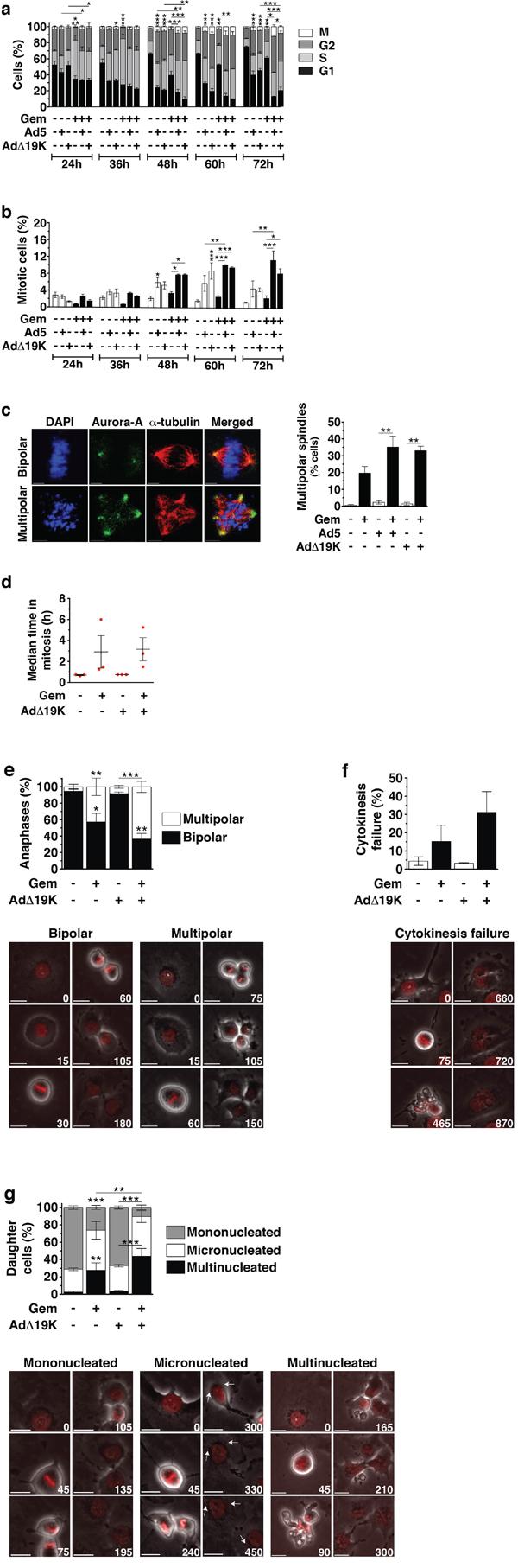 Adenovirus increases the mitotic index in gemcitabine-treated cells and enhances aberrant passage through mitosis.