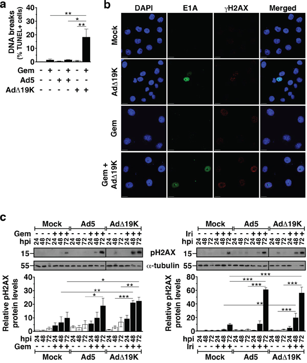 AdΔ19K and DNA-damaging drugs cooperate to induce DNA damage.