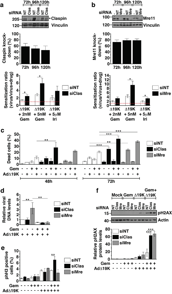 Mre11 and Claspin knockdown enhance cell death and DNA damage in response to AdΔ19K and DNA-damaging drugs.