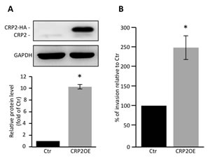 CRP2 overexpression promotes MCF-7 cell invasion.