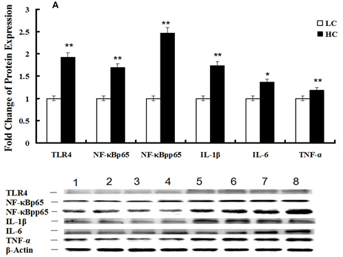 Protein expression of the TLR4 and mTOR signaling pathways in mammary glands of dairy cows fed low concentrate (LC) or high concentrate (HC) diets.