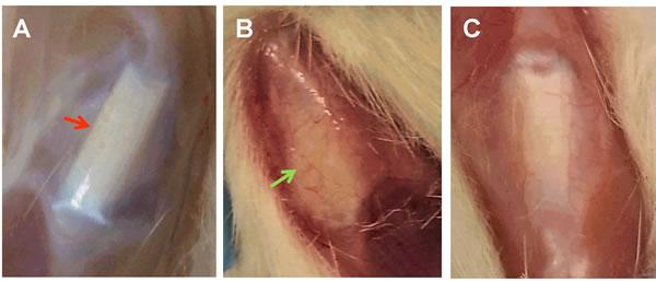 The effect of MTR on gross morphology of aging rat patellar tendons.