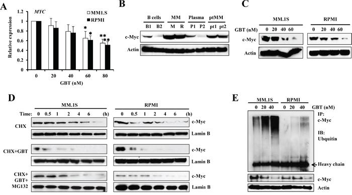 GBT promotes c-Myc degradation.