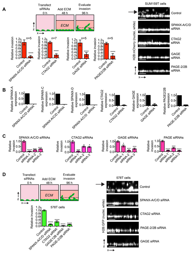 CTA expression promotes breast cancer invasion.