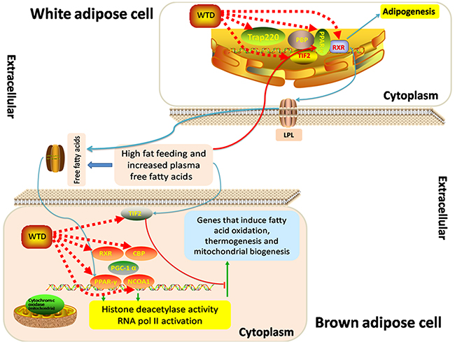 """Schematic diagram of the """"Role of PPAR-gamma Coactivators in Obesity and Thermogenesis."""""""