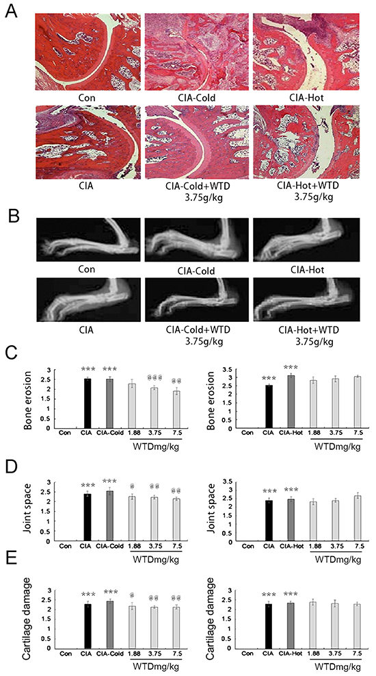 Effect of WTD on radiological changes and histologic lesions in CIA rats.