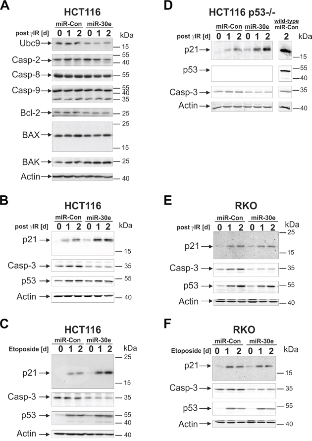 MiR-30e suppresses procaspase-3 expression in HCT116 and RKO cells, but upregulates p21 only in HCT116 cells.