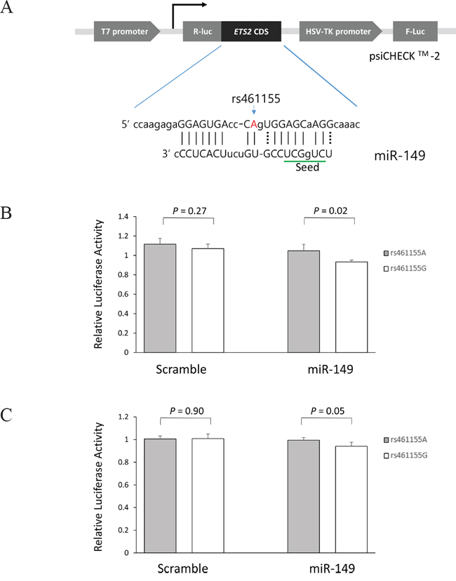 Functional analysis of the ETS2 rs461155A>G by dual luciferase reporter assay.