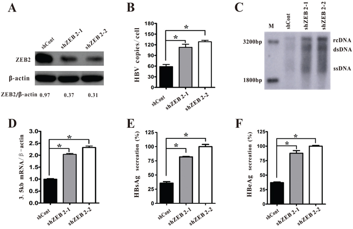 ZEB2 silencing promoted HBV replication in HepG2.2.15 cells.