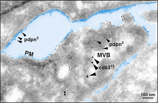 Cryoelectron microscopy reveals MVB colocalization of PDPN and CD63.