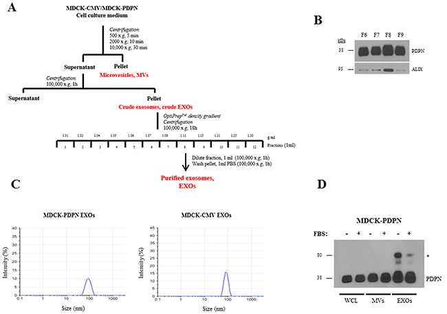 Purification and characterization of EXOs released from MDCK-CMV and MDCK-PDPN cells.