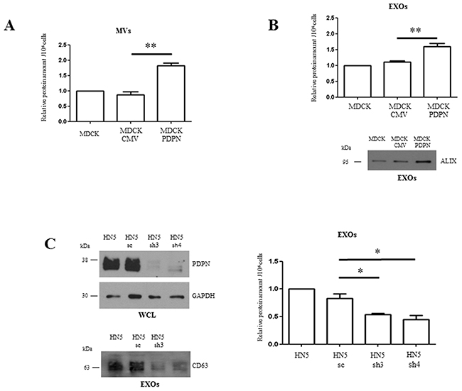 PDPN facilitates increased production and release of EV subtypes.