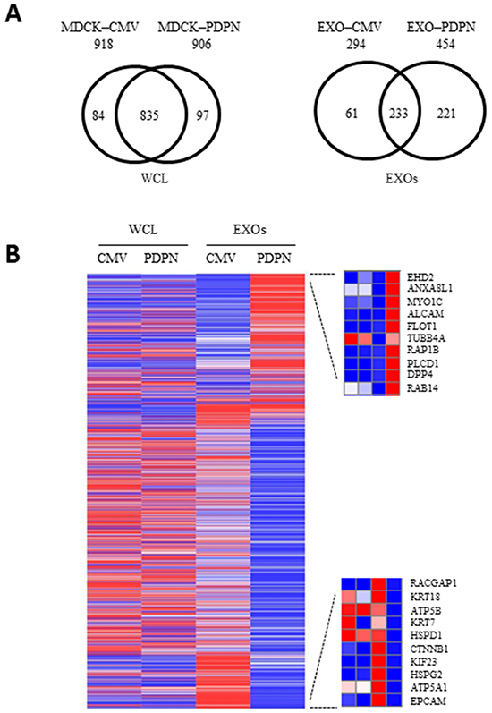 Proteomic profiling of MDCK cells and EXOs following PDPN overexpression.
