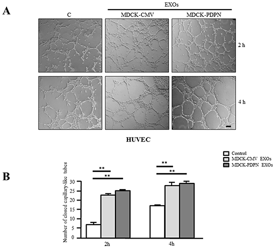 MDCK-PDPN and MDCK-CMV-released EXOs stimulate in vitro angiogenesis.