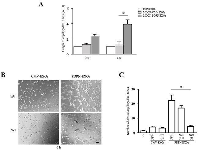 MDCK-PDPN-released EXOs stimulate in vitro lymphangiogenesis.