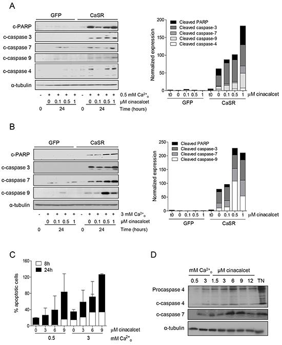 Acute exposure to cinacalcet induces apoptosis in neuroblastoma cells.