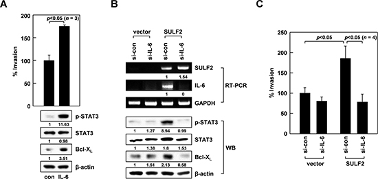 IL-6 mediates the ability of SULF2 to stimulate the STAT3-Bcl-XL pathway.