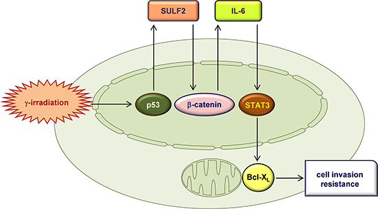 A proposed model for the IR-induced signaling pathway that leads to an increase in cellular invasiveness and resistance.