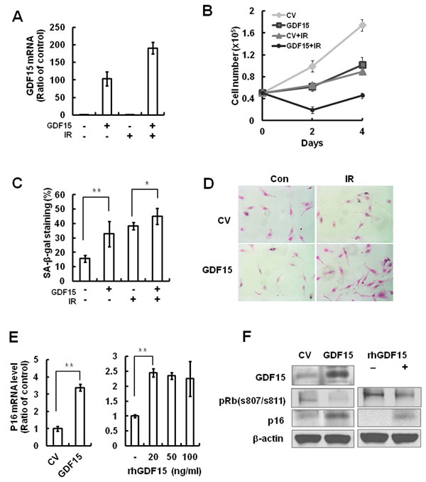 The effects of GDF15 overexpression on cellular senescence in HAECs.