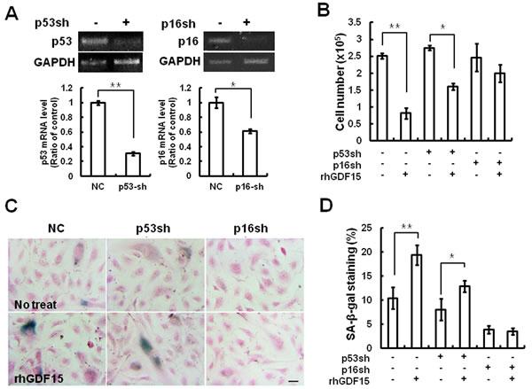 Cellular senescence induced by GDF15