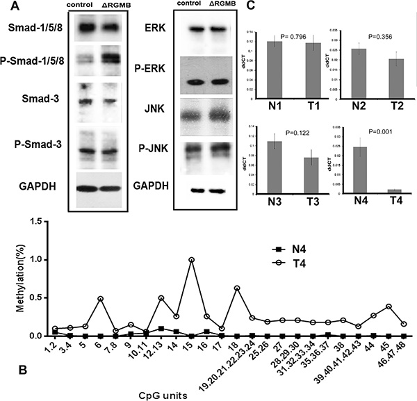 The signaling pathway and potential mechanism of RGMB downregulation in lung cancer.