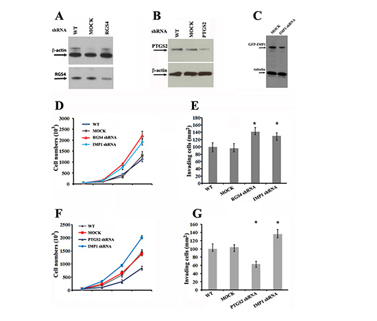 Knockdown of RGS4, PTGS2 and IMP1 expression affects proliferation and invasiveness of breast carcinoma cells.