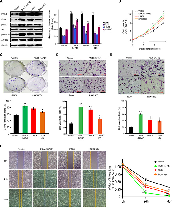 PAK4 promotes proliferation and invasive potential of MDA-MB-231 cells in both kinase-dependent and -independent manners.