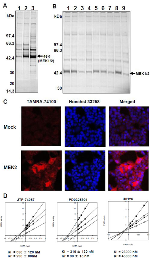 MEK1/2 as direct target molecules binding to JTP-74057 chemotype compounds.