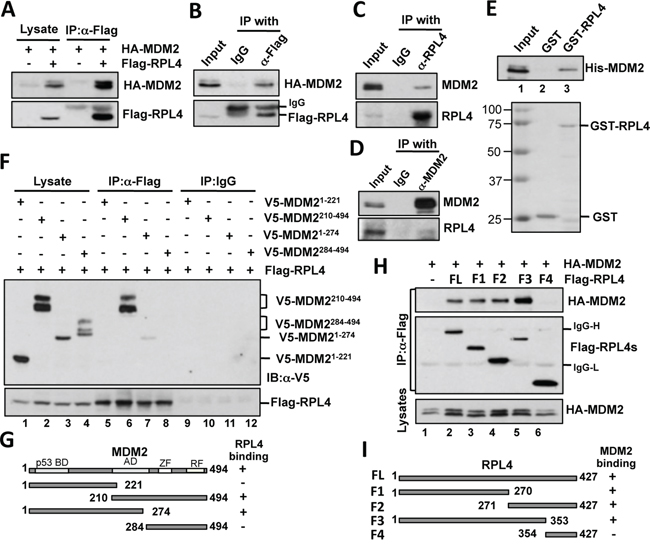 RPL4 interacts with MDM2 in cells and in vitro.