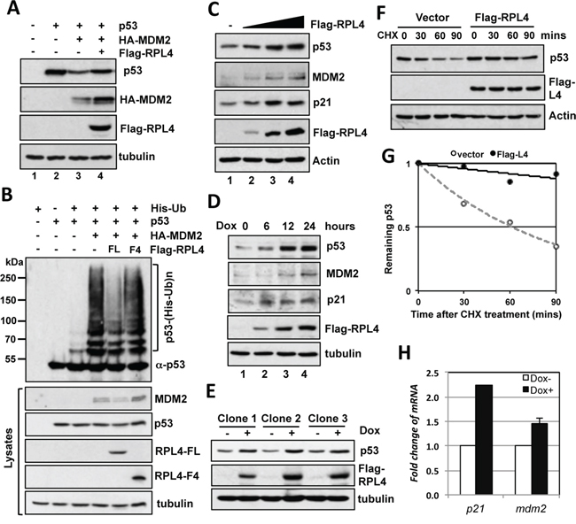 Overexpression of RPL4 inhibits MDM2-mediated p53 ubiquitination and degradation.