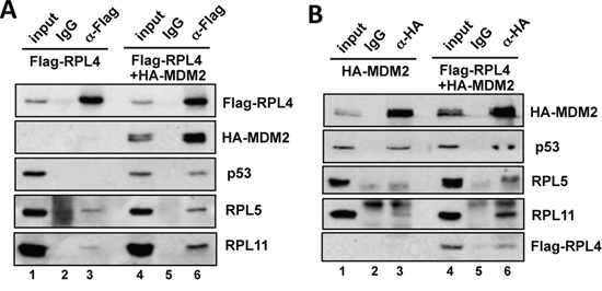 RPL4 forms a complex with MDM2, RPL5 and RPL11 and promotes the interaction of MDM2 with RPL5 and RPL11.