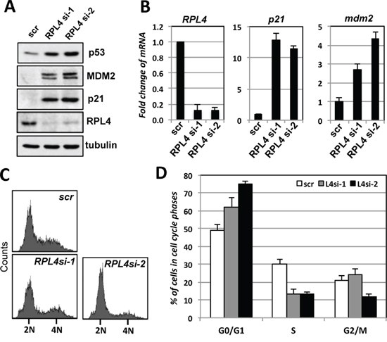 Knockdown of RPL4 induces p53 levels and G1 cell cycle arrest.