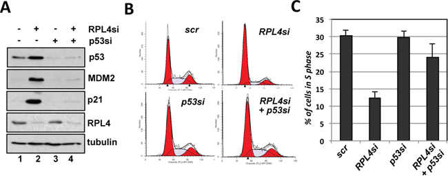 RPL4 knockdown-induced G1 cell cycle arrest is p53-dependent.