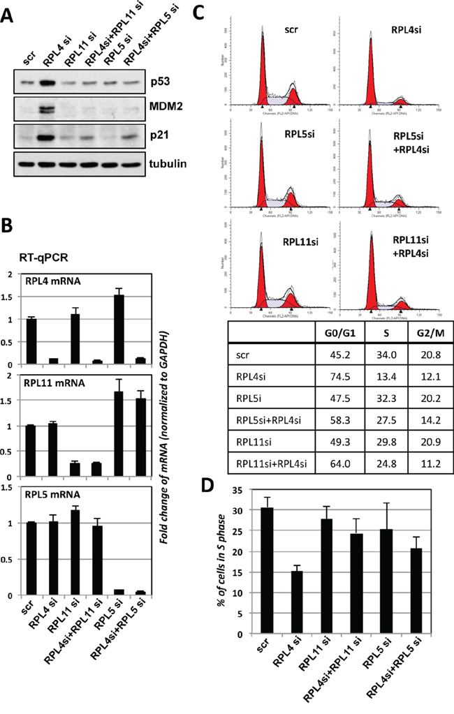 p53 activation induced by knockdown of RPL4 requires RPL5 and RPL11.