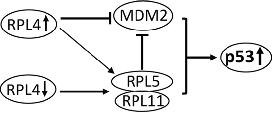 Schematic model for the role of RPL4 in regulating the MDM2-p53 signaling.