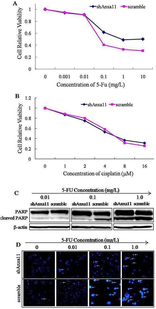 Anxa11 knockdown influence on Hca-P cell drug sensitivity to 5-FU and cisplatin.