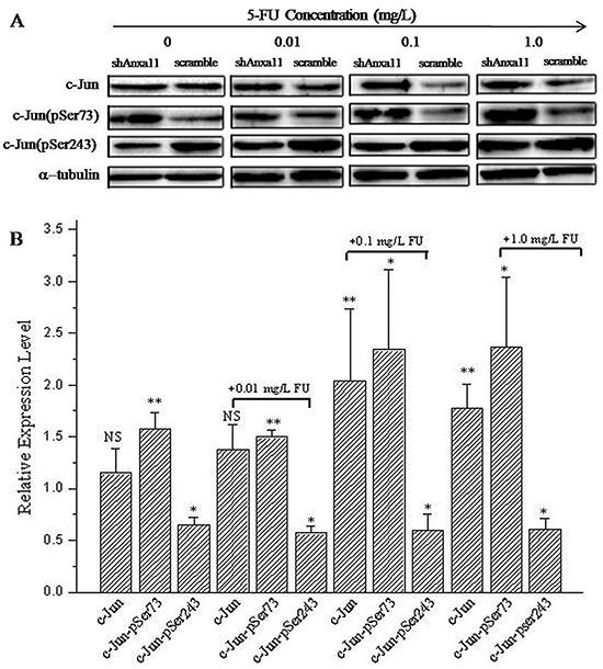 ANXA11 is linked to c-Jun pathway on Hca-P sensitivity to 5-FU.